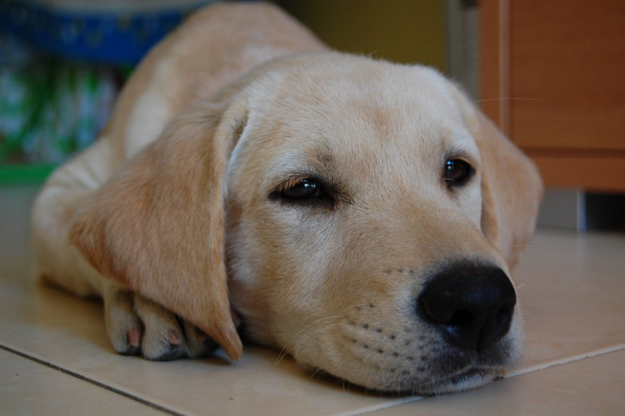 Top 5 Dog Breeds to Help You Fight Depression