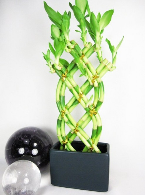 01 best lucky bamboo plants