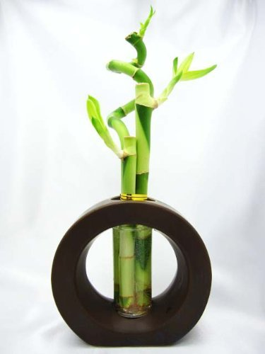 02 best lucky bamboo plants