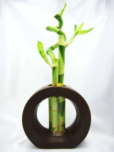 02 best lucky bamboo plants
