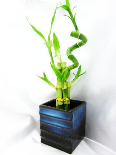 04 best lucky bamboo plants