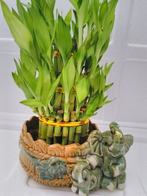 07 best lucky bamboo plants