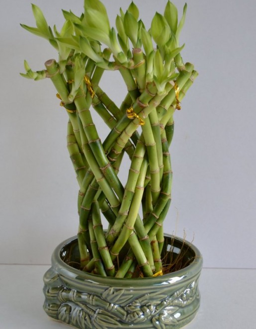 09 best lucky bamboo plants