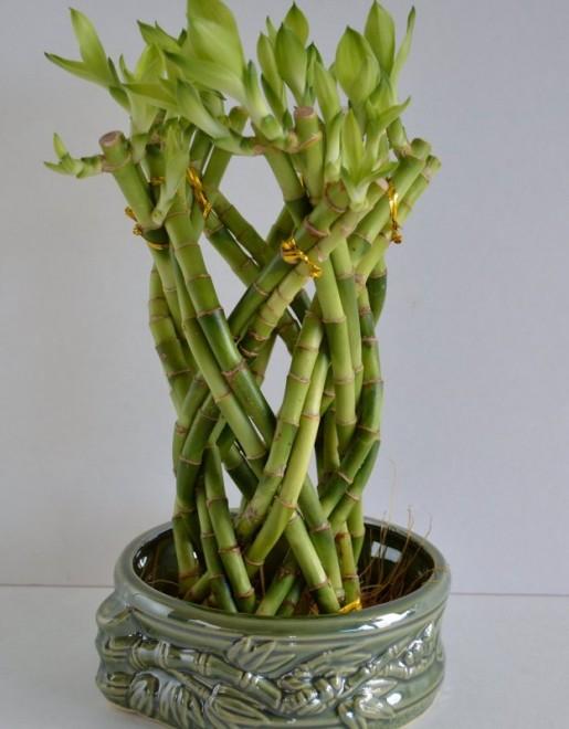 09 best lucky bamboo plants