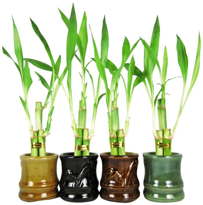 Best Lucky Bamboo Plants: Ranked & Reviewed | Ranking Squad