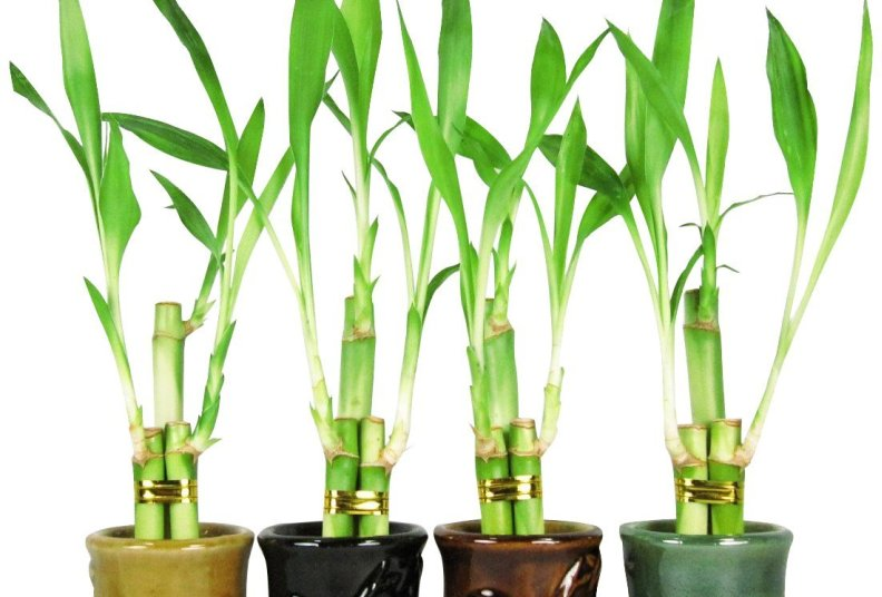 Best Lucky Bamboo Plants: Ranked & Reviewed