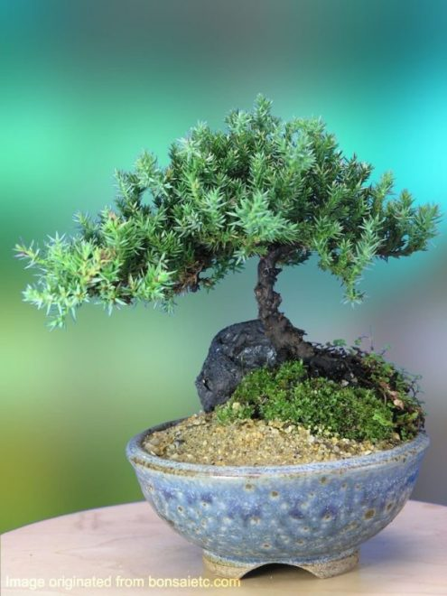 best bonsai trees 01