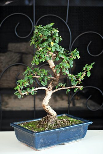 best bonsai trees 02