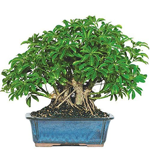 best bonsai trees 03