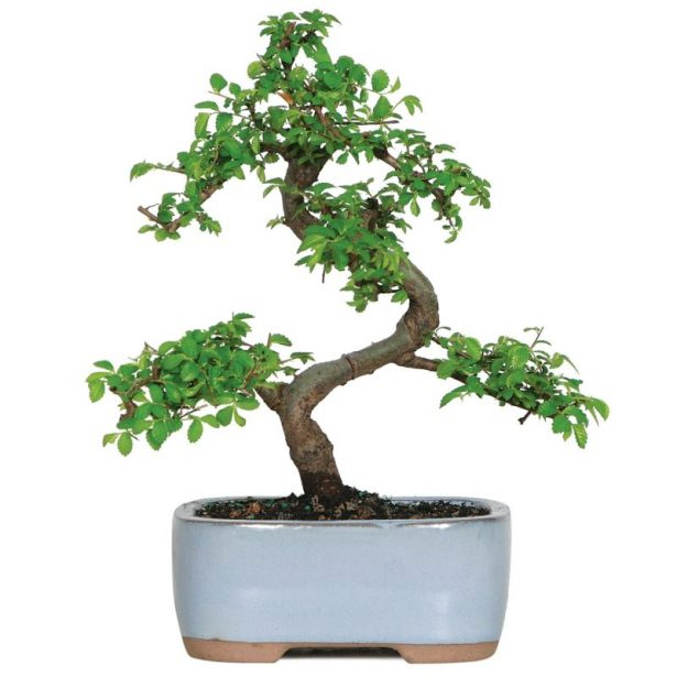 best bonsai trees 04