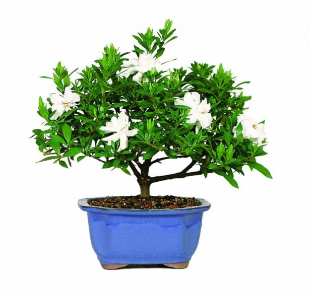 best bonsai trees 05