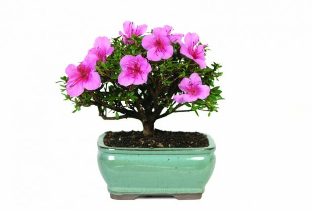 best bonsai trees 06