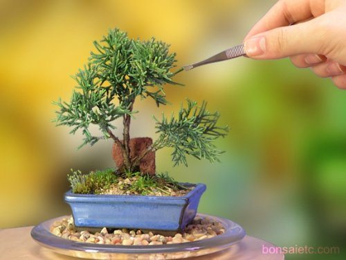 best bonsai trees 07