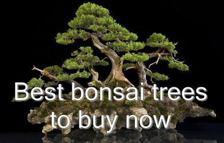 best bonsai trees featured
